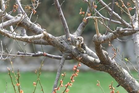 2014.03.29 追分市民の森 ウメにコゲラ
