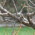 Photos: 2014.03.29 追分市民の森 ウメにコゲラ