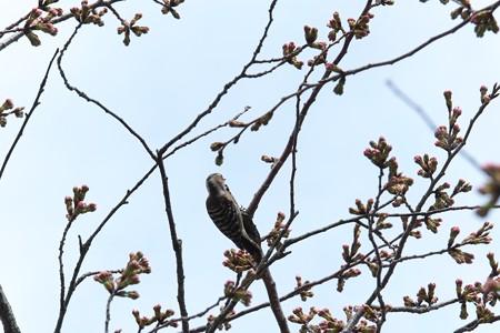 2014.03.29 追分市民の森 サクラにコゲラ