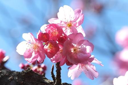 2014.03.31 和泉川 サクラ