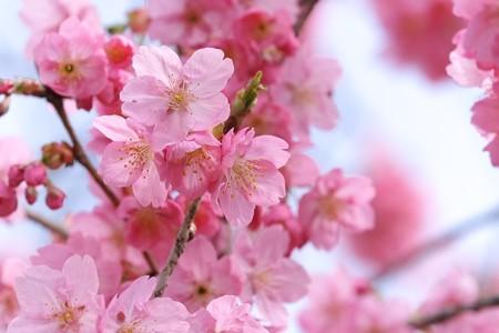 2014.04.01 和泉川 カワズザクラ