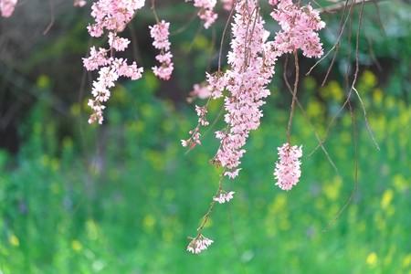 2014.04.01 和泉川 シダレザクラ
