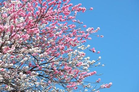 2014.04.07 和泉川 ハナモモ