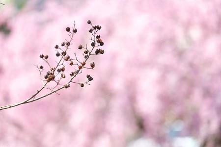 2014.04.08 和泉川 サルスベリ