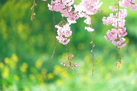 2014.04.08 和泉川 シダレザクラ