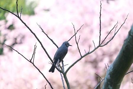 2014.04.08 和泉川 ヒヨドリ 背景シダレザクラ