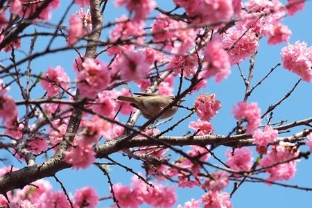 2014.04.10 和泉川 ハナモモにウグイス