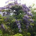 2013/5/19 フジの花