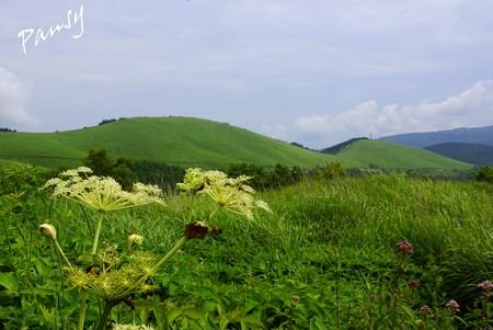 シシウドの花と・・霧ヶ峰・車山高原・・5