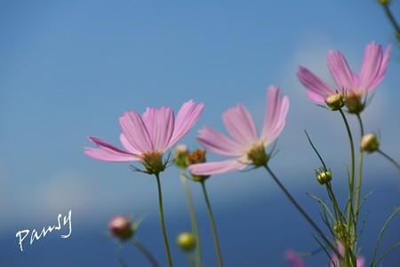 秋桜 in 空と海の青・・