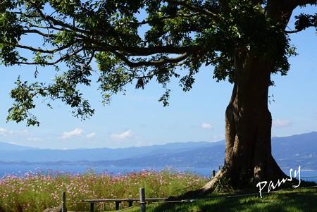 大樹と・・コスモスと・・海と・・