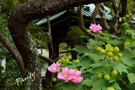 芙蓉と・・鐘楼と・・長月の海蔵寺・・3