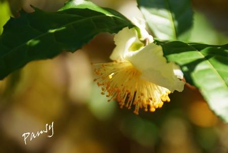 お茶の花・・