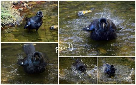 水浴びを始めた一羽のカラス・・友禅苑・・12