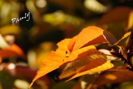 秋陽にかがやく桜葉・・