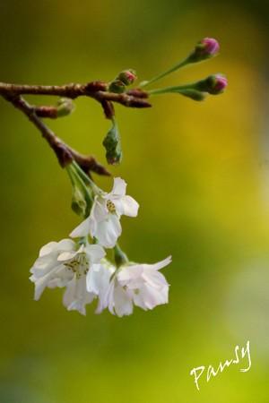 十月桜・・2