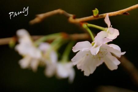十月桜・・3