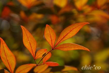 南天・・冬の葉・・1
