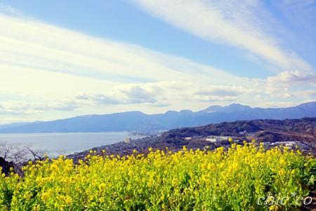 菜の花の咲く丘・・