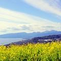 写真: 菜の花の咲く丘・・