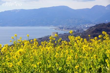 海を望む菜の花畑・・