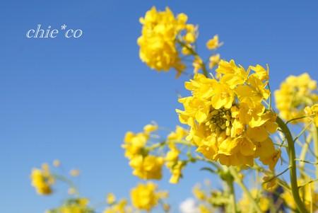 青空と菜の花・・