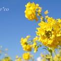 写真: 青空と菜の花・・