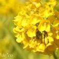 写真: 早咲きの菜の花・・4