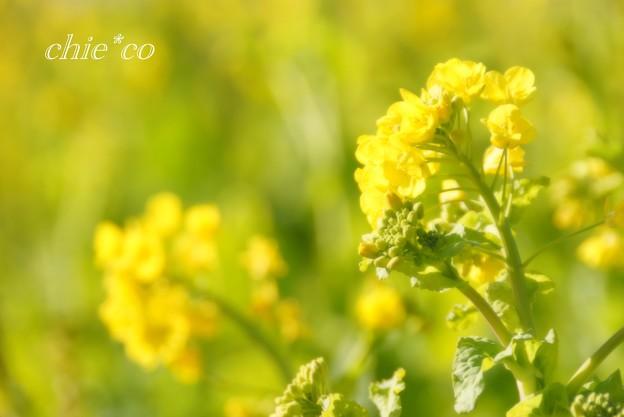 写真: 早咲きの菜の花・・6