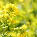 写真: 早咲きの菜の花・・7