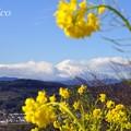 写真: 菜の花の向こうの富士山・・