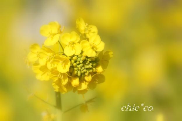 写真: 早咲きの菜の花・・8