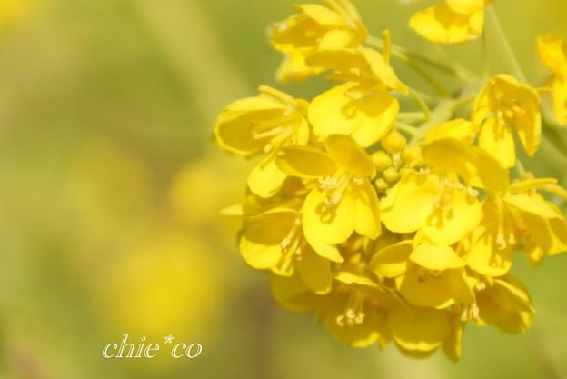 写真: 早咲きの菜の花・・9