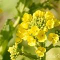 写真: 早咲きの菜の花・・10