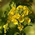 写真: 早咲きの菜の花・・11