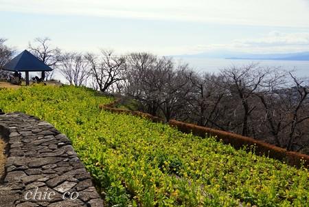 相模灘を望む菜の花の丘・・