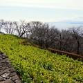写真: 相模灘を望む菜の花の丘・・