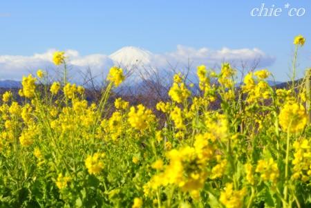富士山の見える菜の花畑・・