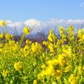 写真: 富士山の見える菜の花畑・・