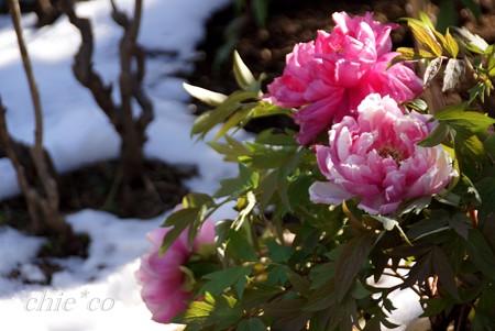 冬牡丹・・22