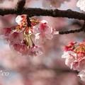 あたみ桜~6