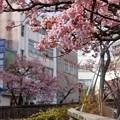 あたみ桜~7