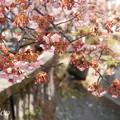 あたみ桜~8