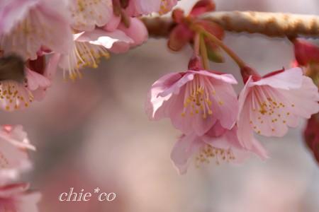 あたみ桜~9