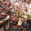 あたみ桜~10