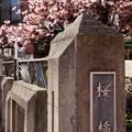 あたみ桜~11