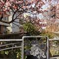 あたみ桜~12