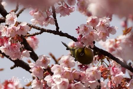 あたみ桜~13