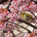 あたみ桜~14