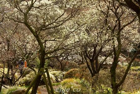 白梅の咲く風景・・